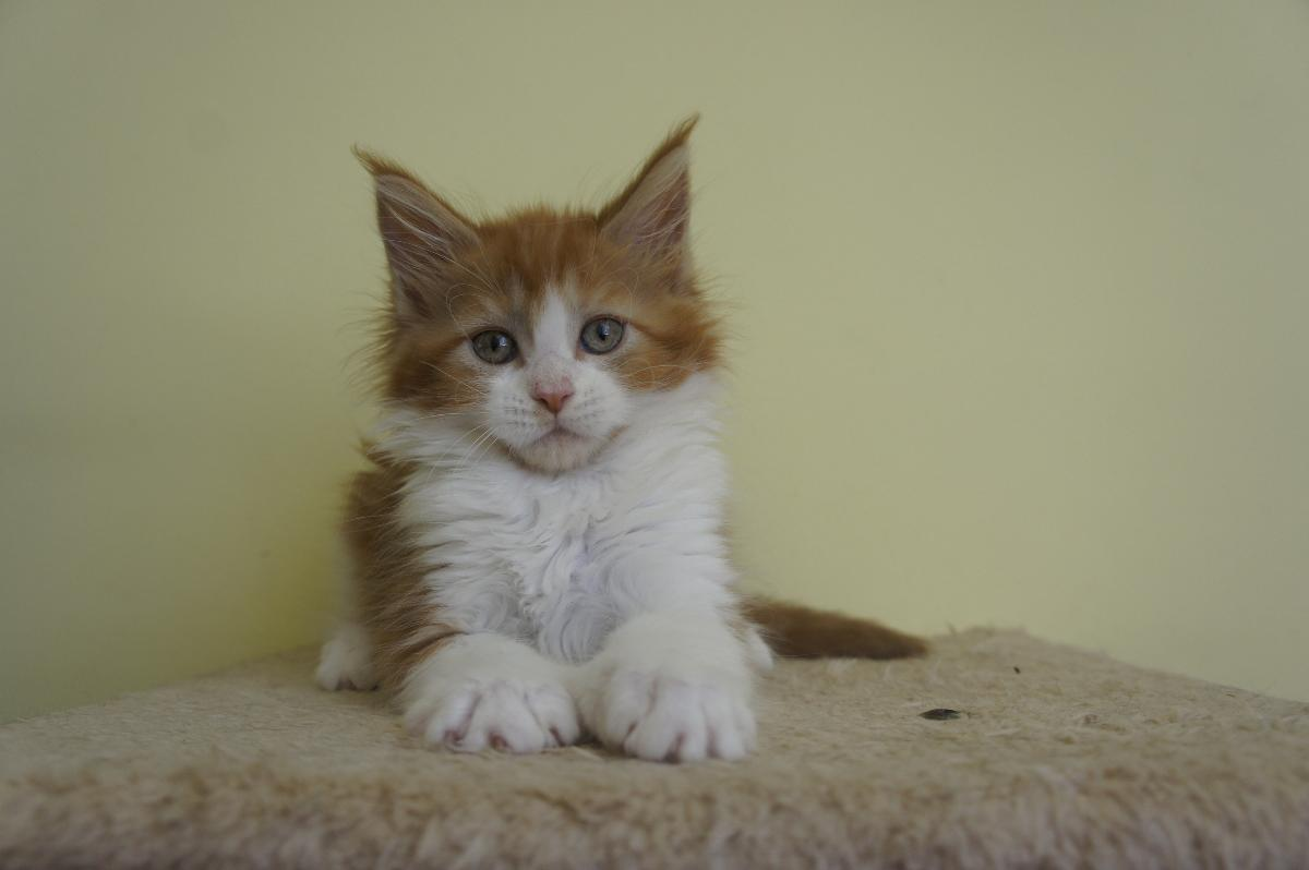 Photo Maine coon kittens ready for new homes