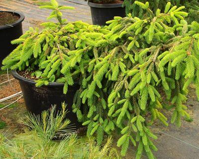 Photo Black Friday WEEKEND Sale for Conifer and Japanese Maple