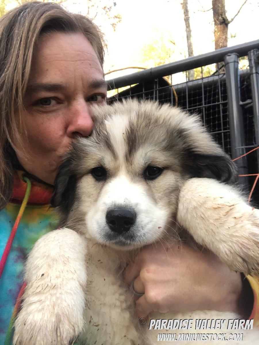 Photo Great Pyrenees Puppies