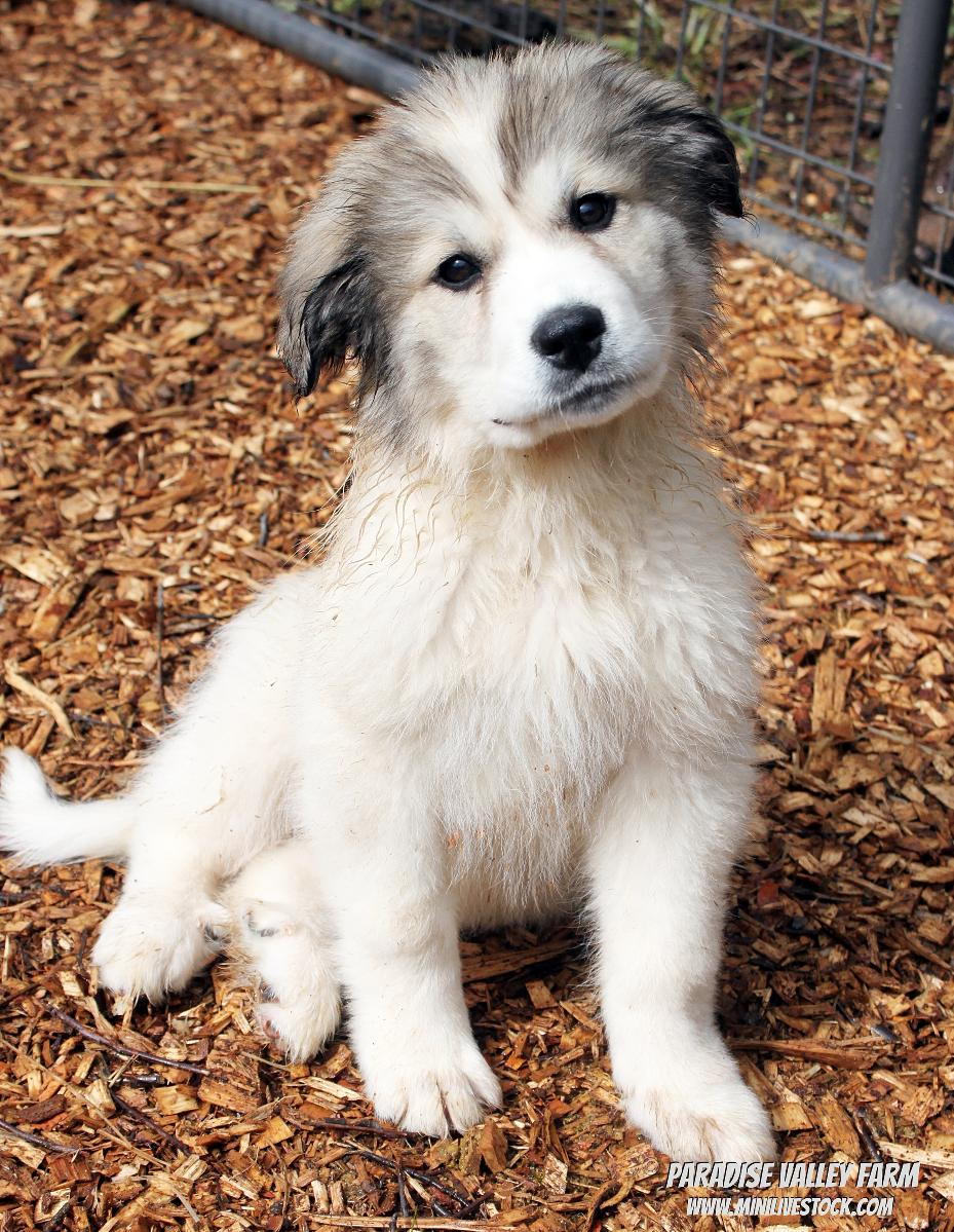Photo Great Pyrenees Puppy Sale!