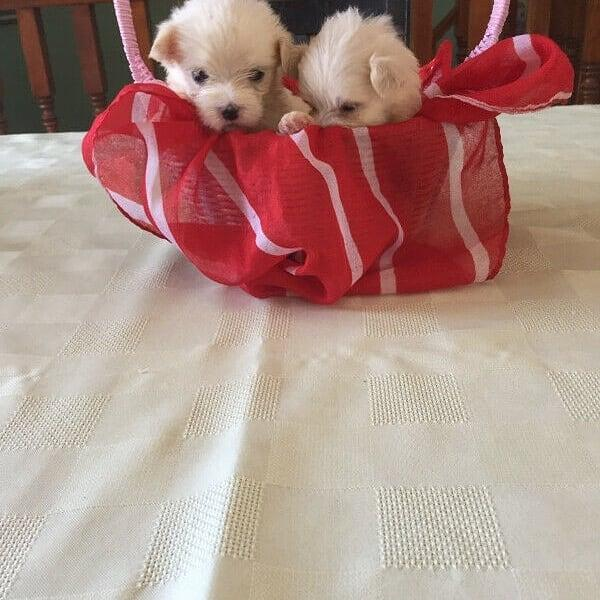 Photo Smart Maltase puppies for sale to good homes